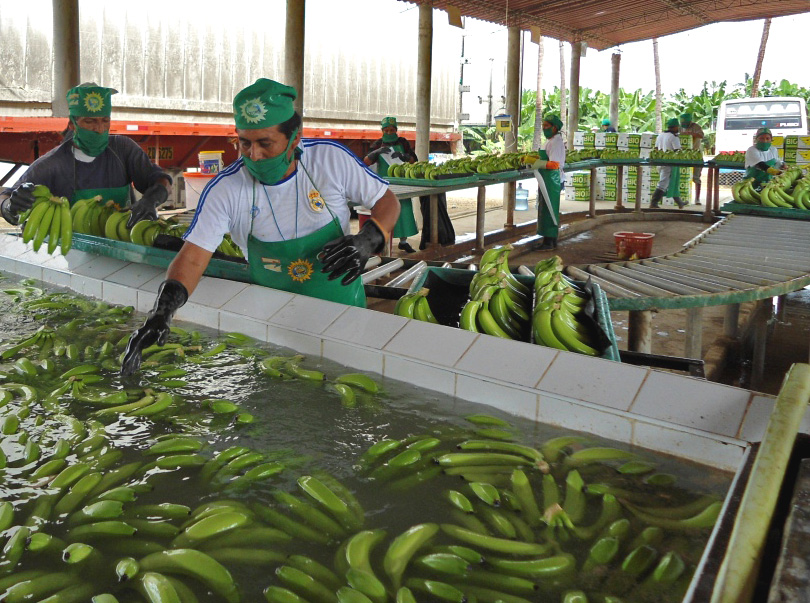 Investments have also been made in modern packing stations, from where the bananas are transported by truck to the port of Paita, some 60 km away. (Photo David Brown)