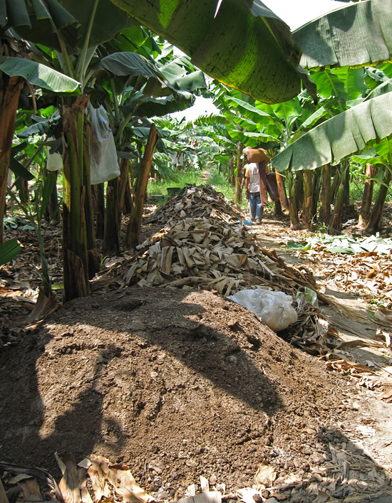Fertilization is one of the main costs for producers of organic bananas. Buying manure and permitted organic fertilizers (such as bird guano and SuPoMag, a naturally occurring mineral containing sulfur, potassium and magnesium) may represent as much as 40% of a producer's annual total costs. (Photo Charles Staver)