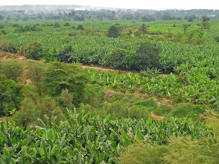 Most organic bananas are grown on plots that average less than one hectare in size. Generally speaking, smallholders are considered ideally suited for the organic niche market since they can rarely afford the chemical pesticides and fertilizers that are banned in organic agriculture. The recurring cost of certification, however, is beyond the reach of the average smallholder. Producers overcome this by forming associations that spread the cost among their members or by signing an exclusivity contract with a marketing company that, in return for paying for the certification, buys their production at a fixed price. (Photo Miguel Dita)
