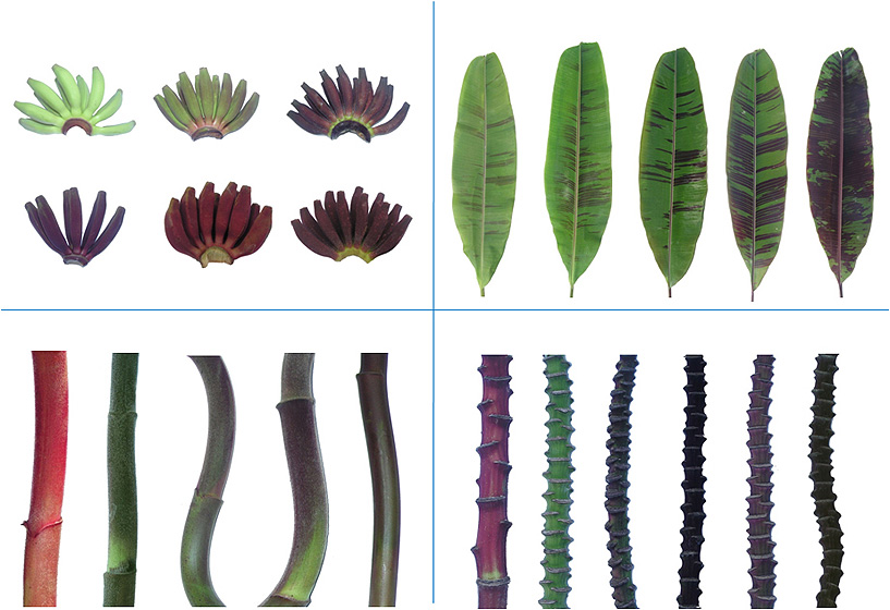 Some characters are more variable than others, as shown by the diversity observed in the progeny of a cross between Monyet and Royal with regards to the shape and colour of the fruit, leaves, peduncle and rachis. (Photos Everton Hilo Souza)