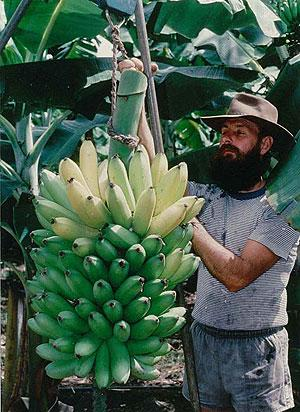 Fhia 01 Promusa Is A Project To Improve The Understanding Of Banana And To Inform Discussions On This Atypical Crop