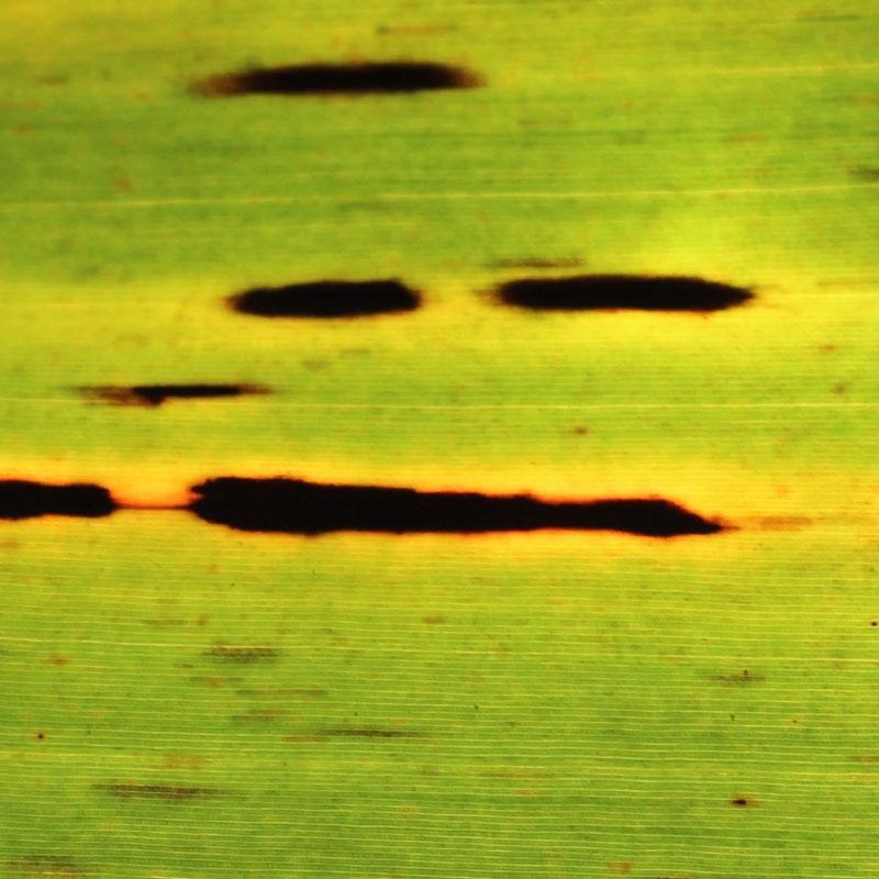Black leaf streak | The banana knowledge platform of the