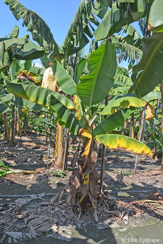 Fusarium Wilt Promusa The Banana Knowledge Platform