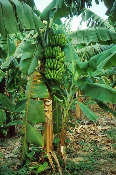 Asexual propagation of banana