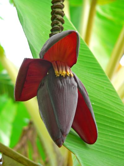 Morfología De La Planta Del Banano Promusa Is A Project To Improve The Understanding Of Banana And To Inform Discussions On This Atypical Crop